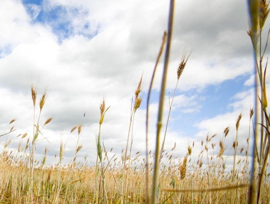 Ilustracja do informacji: Straty spowodowane suszą